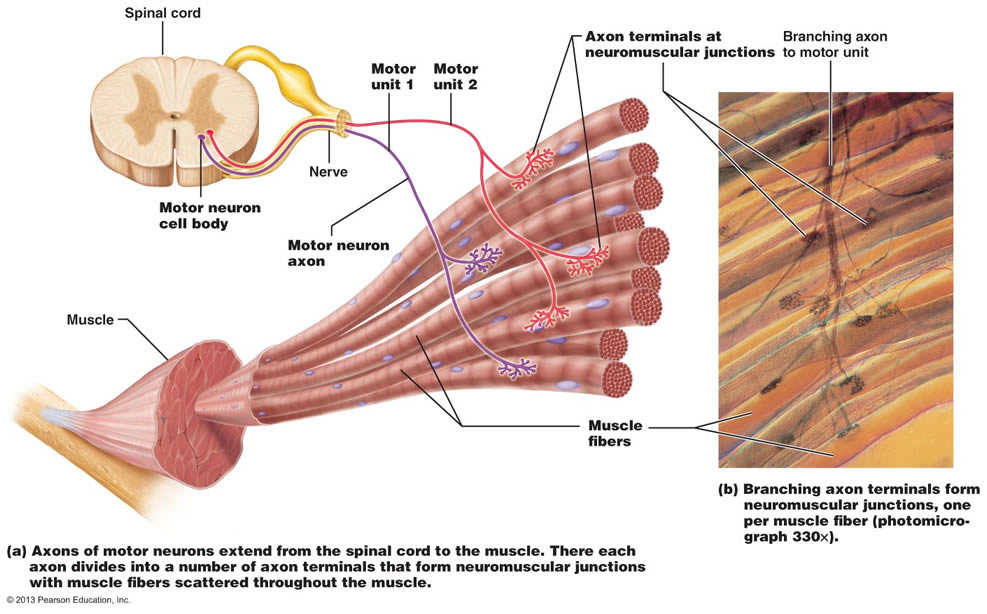 simple motor unit diagram fysiologie en histologie van de spiercel. - krachttraining ... #9
